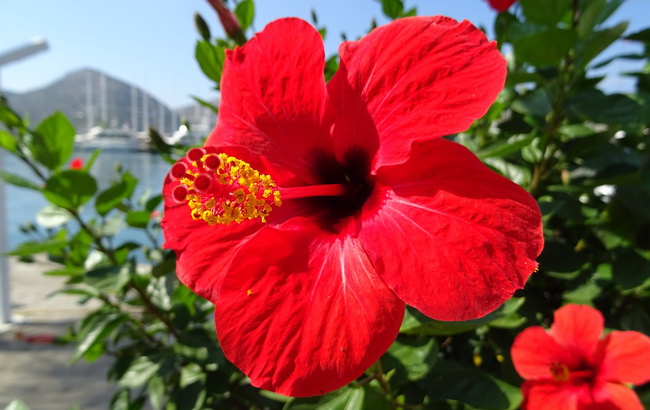 Hibiscus ou Althea (Hibiscus syriacus)